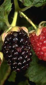 A fruit cluster of immature red and<br /> black ripe olallieberry blackberry.