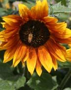 sunflower-bee