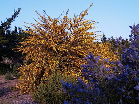 Fremontodendron spp. & Ceanothus spp.